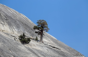 Solitary pine