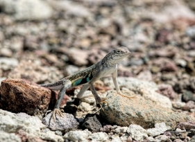 Zebra Tailed Lizard