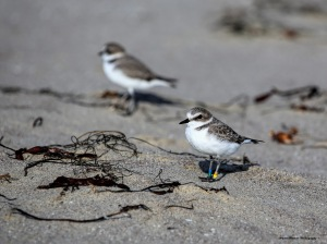 Snowy Plovers