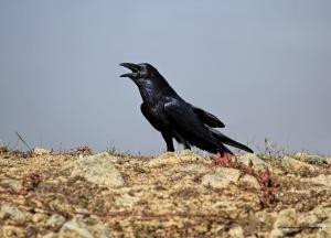 Raven talking away