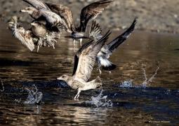 Gulls bathing in the fresh water