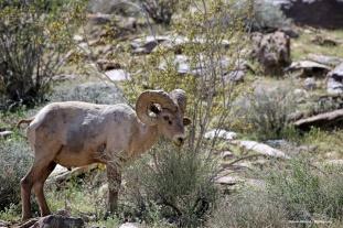 Desert Big Horn sheep grazing