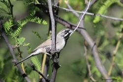 Black Throated Sparrow