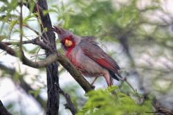 Pyrrhuloxia-Desert Cardinal