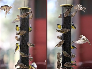 Goldfinch and Pine Siskin drama