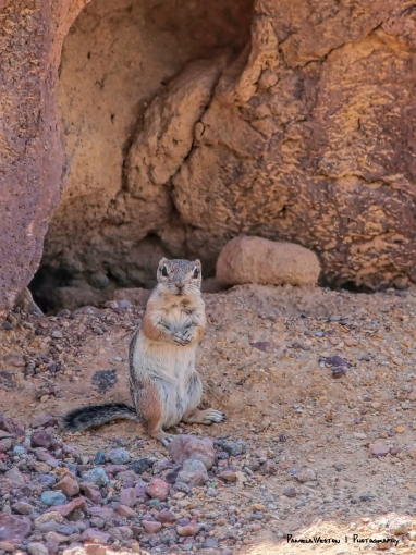 Antelope Squirrel in the shade