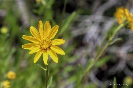 Onehead Sunflower