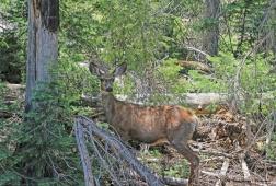 A mule deer peers from the shadows beside the road