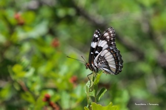 Viceroy Butterfly(?)