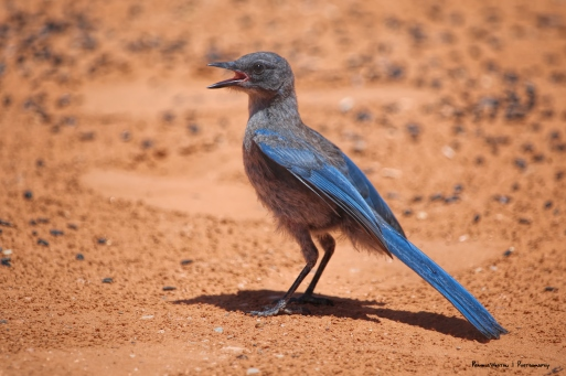 A Juvenile Scrub Jay calling out for food