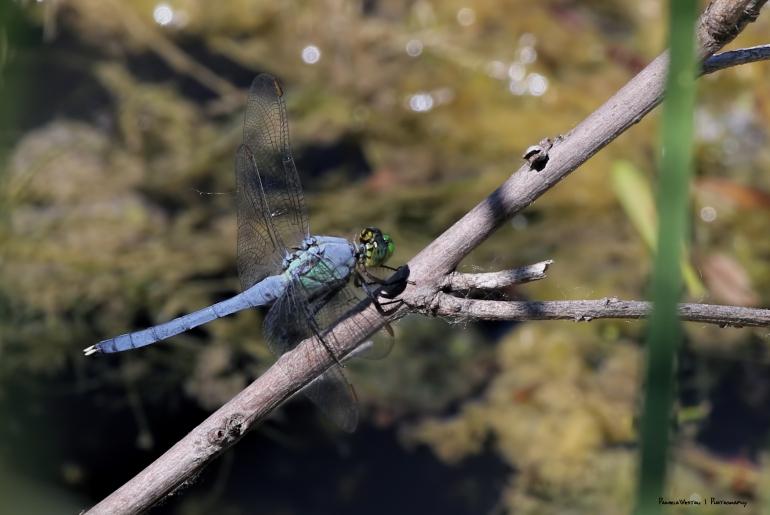 Blue Skimmer(?)