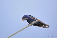 Purple Martin with breakfast for the kids