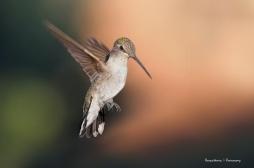 Mrs. Black Chinned Hummingbird