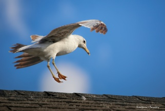 Incoming Ring Billed Gull