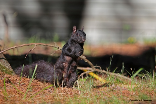 Black Squirrels, the Brawn