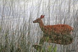 Deer grazing in the lake