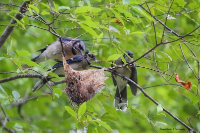 Blue Jay family feasting on a tent caterpillar nest