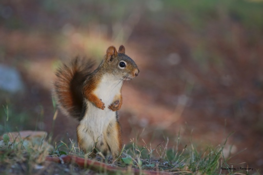 Red Squirrel, the brains in the bunch..