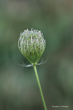 Queen Anne's lace bud