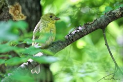 A very young female Scarlett Tanager