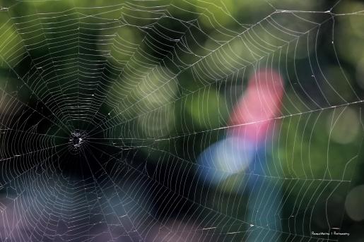 Orb weaver web
