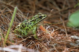 The gorgeous Leopard frogs