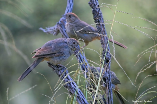 Canyon Towhee juveniles filling up on seeds