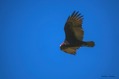 Turkey vulture fly over