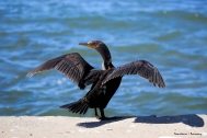 Do I look good in black? Double Crested Cormorant