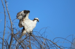This branch is too flimsy-Local Osprey
