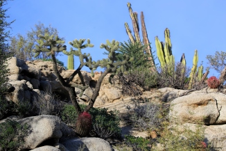 A variety of beautiful cactus on the wall of the arroyo by rancho Santa Ines
