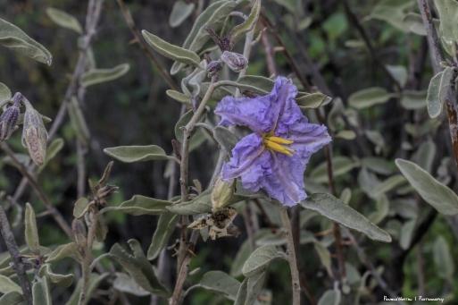 Baja California nightshade, Solanum hindsianum (tomato family Solanaceae)