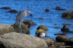 """The Heerman's gull is looking at the Reddish Egret as if to say."""" who dressed you this morning?"""" ;)"""