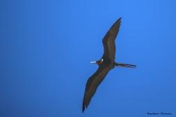 Male Frigate Bird