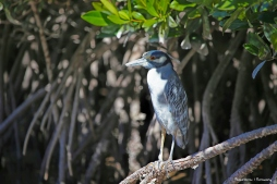 A yellow Crowned Night Heron waits in the mangroves