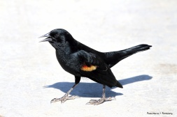 Red Winged Blackbirds