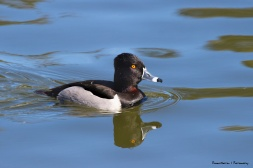 Mr. Ring Necked Duck, could be Tuxedo Duck;)