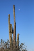 Moonset and cactus
