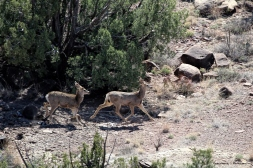 Young mule deer trotting off