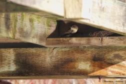 Building their nest under the bridge