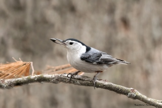 Such beautiful markings on these Nuthatches