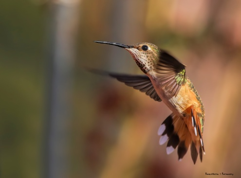 Rufous, look at my wingspan