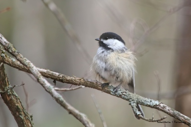 A puffed up Chickadee