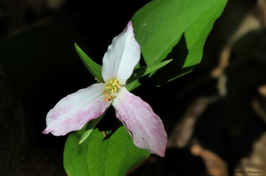 Pink tinged Trilliums
