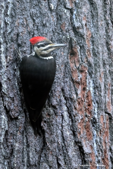 Mrs. Pileated Woodpecker