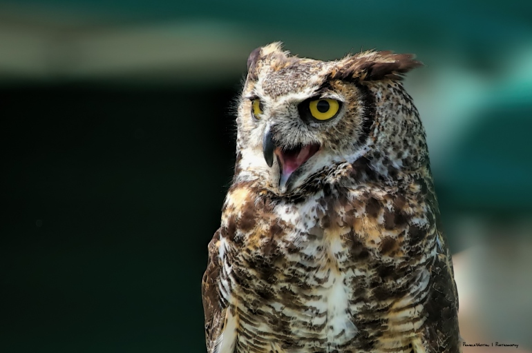 One of my favourites, Great Horned Owl