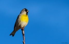 Lawrence Goldfinch
