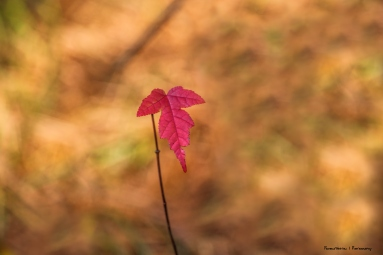 The single red leaf