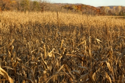 Corn field in Leon, South of the I 90