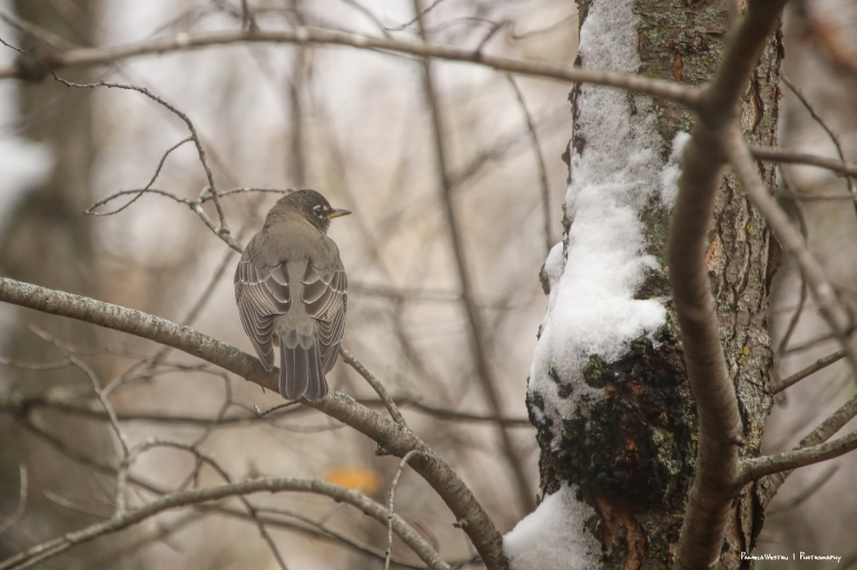 American Robin, puffed up in the cold